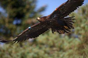 Eddie flying soon after fledging in 2016