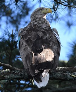 Adult white-tailed sea eagle in Glengarriff