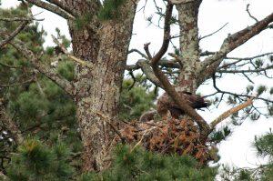 White Tailed Eagles Nesting