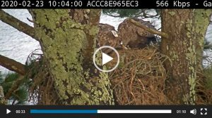 A capture from a webcam at Glengarriff showing an eagle nesting