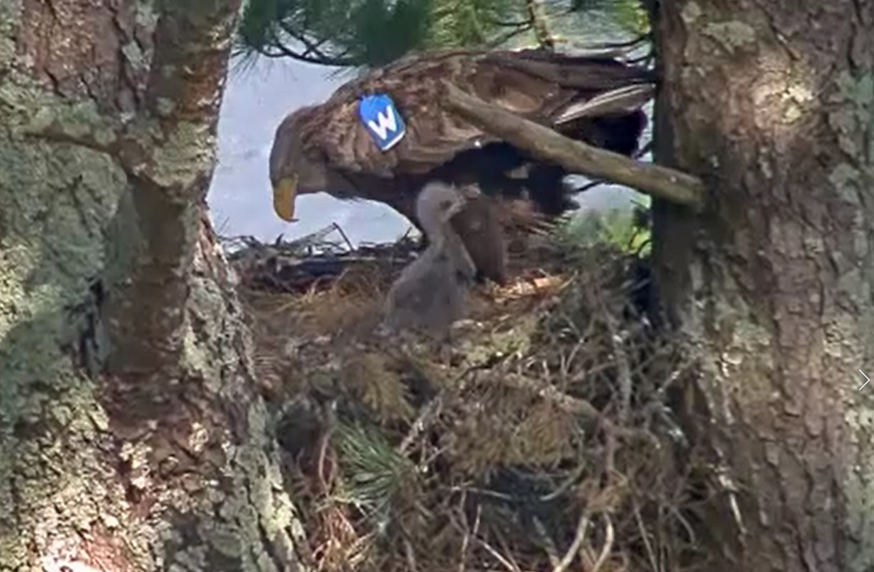 Eagle named W with chick