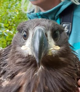 Eagle having been tagged