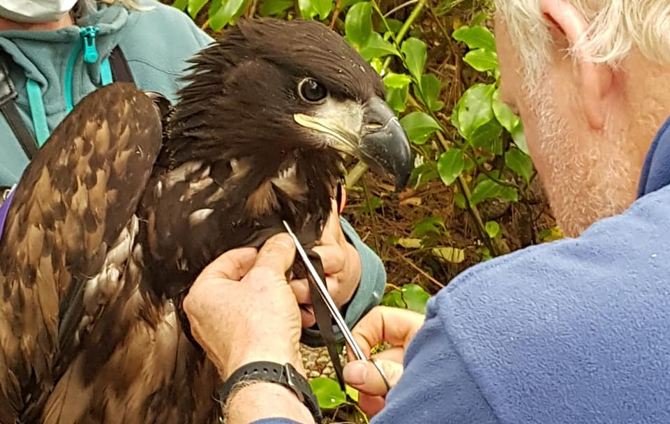 Eagle Tagging in action